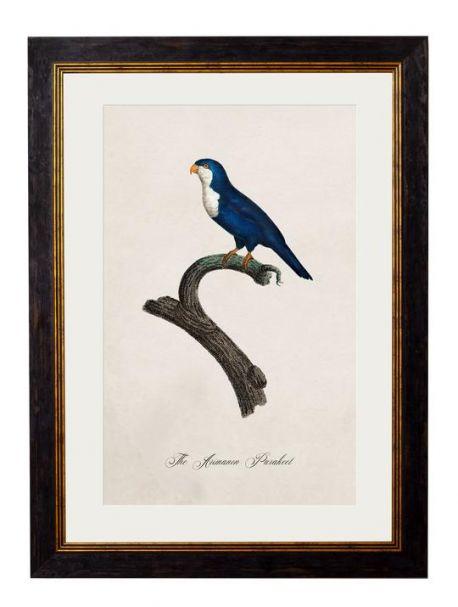C.1809 ARIMANON PARAKEET Framed Print