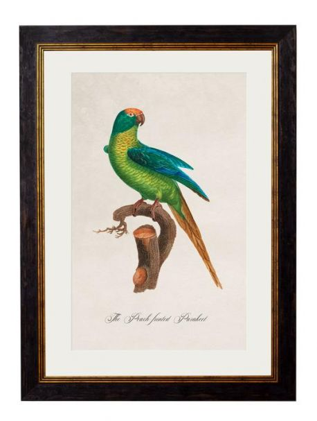 C.1809 PEACH FRONTED PARAKEET Framed Print
