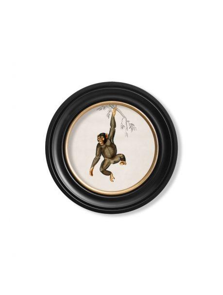 C. 1836 CHIMPANZEE in Round Frame