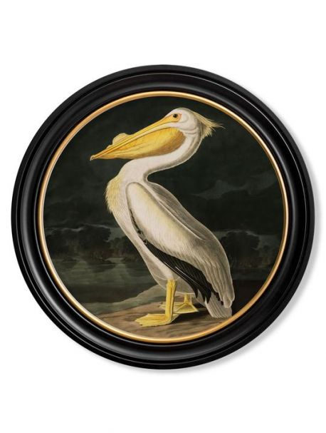 C.1838 AMERICAN PELICAN in Round Frame