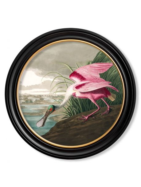 C.1838 ROSEATE SPOONBILL in Round Frame