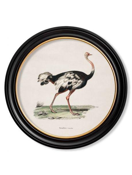 C.1846 OSTRICH in Round Frame