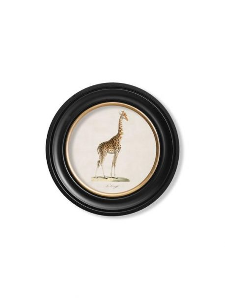c. 1836 GIRAFFE in Round Frame