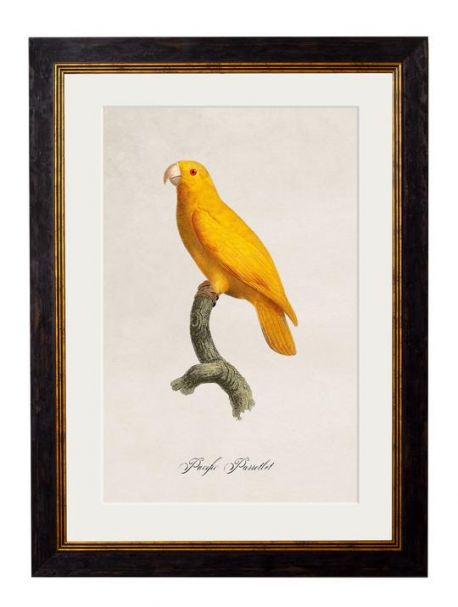 C.1809 PACIFIC PARROTLET Framed Print