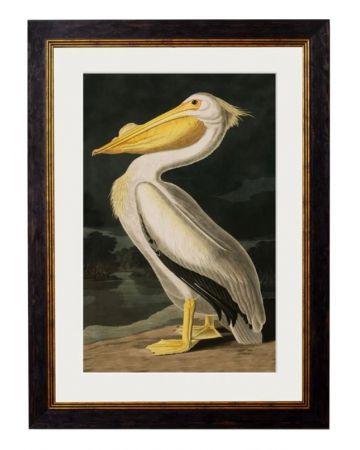 C.1838 AMERICAN PELICAN Framed Print
